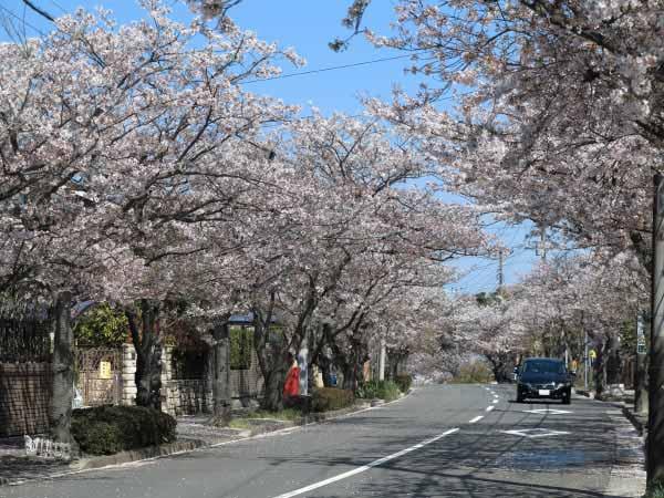 ハイランドの桜。東泉水信号を曲がるとこの桜並木が続きます。