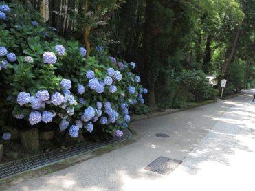 円覚寺仏殿右側の参道にある大きなあじさいの株。
