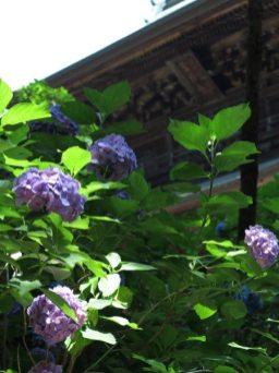 円覚寺三門付近のあじさい。