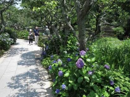 東慶寺の参道には断続的にあじさいが植えられています。