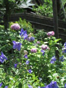 東慶寺の桔梗(ききょう)とあじさい。桔梗はあじさいを追いかけるように7月上旬から咲き始めます。