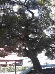 五霊神社はたくさんの巨木があります。これは椨(タブノキ)。