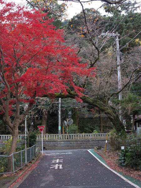 早雲公園から降りると道沿いに鮮やかな紅葉がありました。