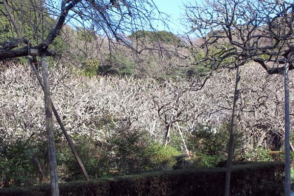 平成29年(2017年)2月15日、瑞泉寺の梅。本堂のある上の平場。