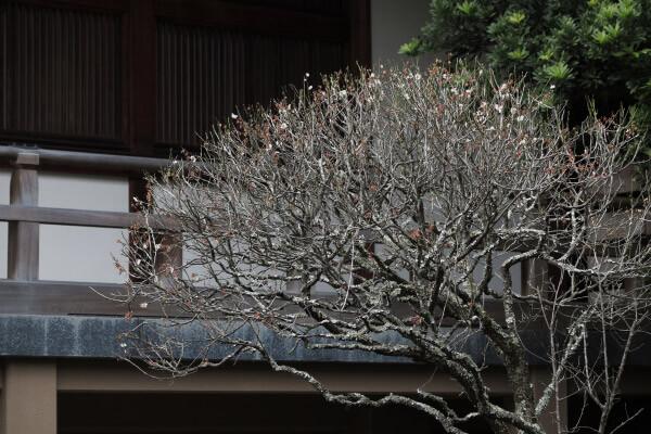 平成29年(2017年)2月24日、報国寺の梅。