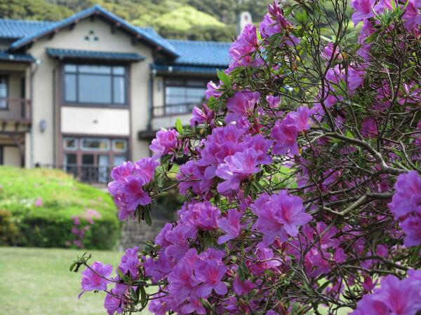 鎌倉文学館(旧前田侯爵家別邸)の大紫躑躅(ツツジ)。