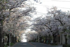 平成29年(2017年)4月13日、午後4時頃。ハイランドの桜。