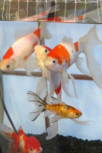 「和喫茶 金魚の栖」の水槽。こちらには、コメットや朱文金(しゅぶんきん)などが泳いでいます。