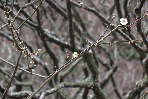 平成30年(2018年)2月23日(金)、瑞泉寺の梅。開花の遅い下の平場。