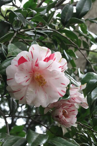 平成30年(2018年)3月23日(金)、源氏山の桜。椿も咲いています。