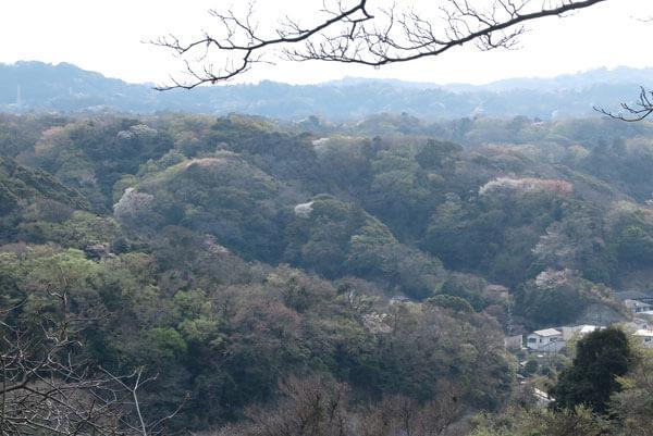 平成31年(2019年)3月28日、源氏山の桜。