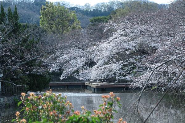 平成31年(2019年)3月28日、八幡宮の桜。