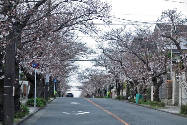 平成31年(2019年)3月28日、ハイランドの桜。