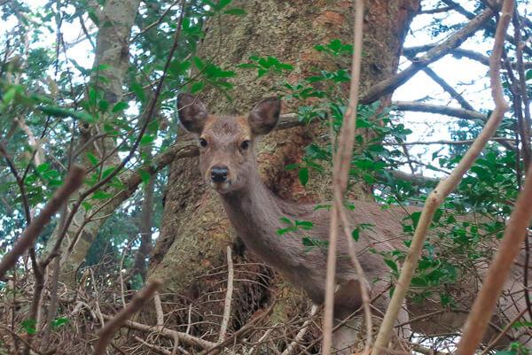 大山寺の本堂近くでじっとこちらをみていた鹿。