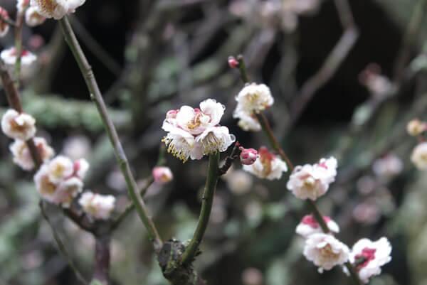 令和2年(2020年)2月26日、東慶寺の梅。まだ蕾もありました。