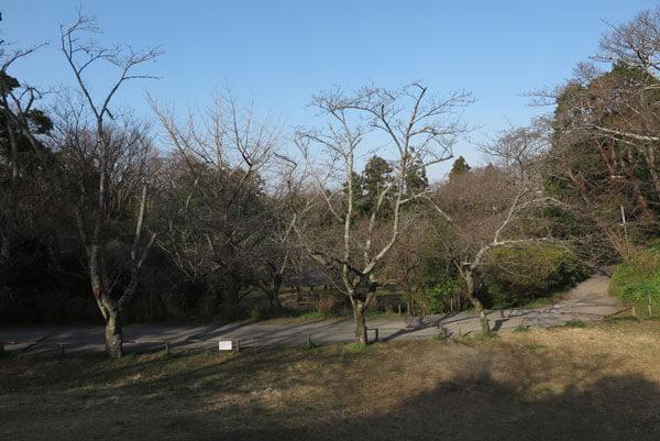 令和2年(2020年)3月19日、源氏山、葛原岡神社前 の桜。