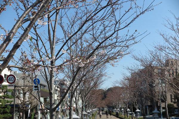令和2年(2020年)3月26日、鎌倉段葛の桜。