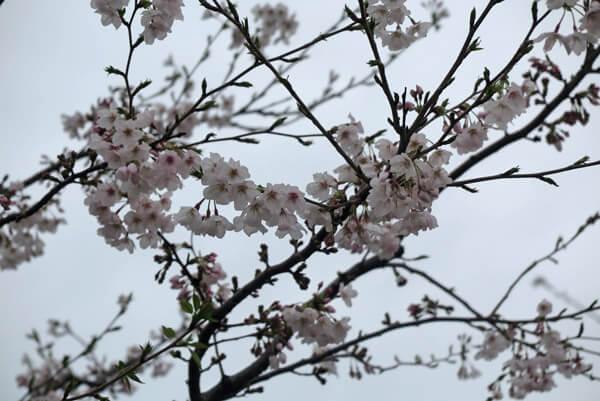令和2年(2020年)3月30日(月)、段葛の桜。