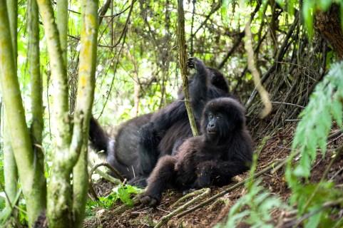 Gorilas de montañ–a en Ruanda