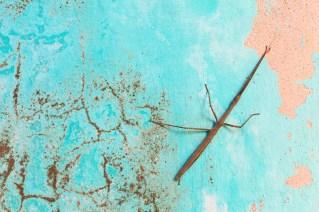 Insecto palo (Phasmida).