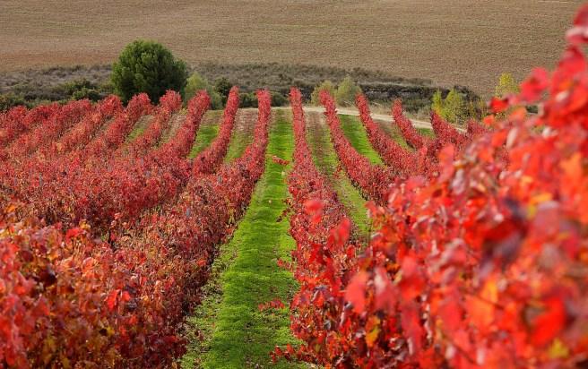 Viñedos en otoño, DOC La Rioja, Rioja Alta, Haro, La Rioja
