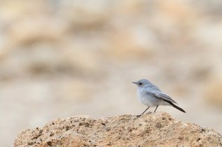 Blackstart (Cercomela melanura) perched on rock. En Gedi Nature Reserve. Israel.