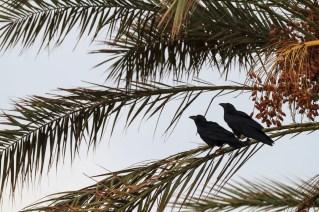 Fan-tailed Raven (Corvus rhipidurus), pair perched on palm. En Gedi Nature Reserve. Israel.