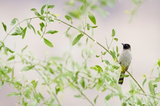 White-spectacled Bulbul (Pycnonotus xanthopygos) perched on branch. En Gedi Nature Reserve. Israel.