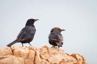 Tristram's Starling (Onychognathus tristramii), pair perched on rock. En Gedi Nature Reserve. Israel.
