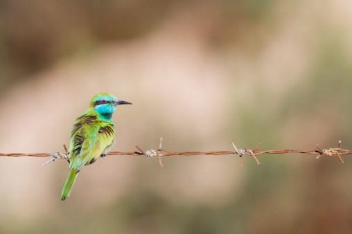 Abejaruco esmeralda (Merops orientalis).