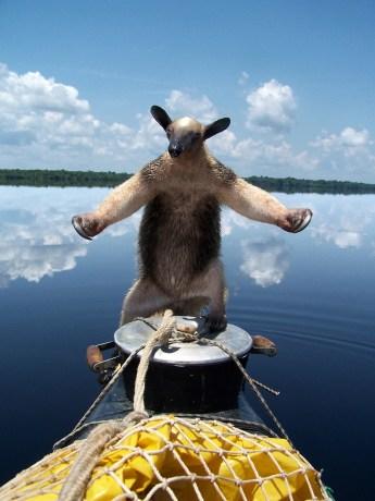 un-oso-hormiguero-trepado-en-el-kayak