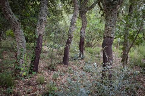 Bosque de alcornoques.