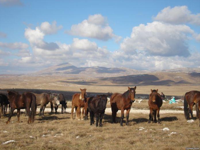 livanjski divlji konji