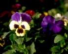 Stiefmütterchen [bunga Ibu Tiri]