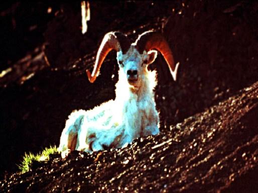 Goats06