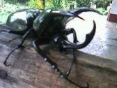 Kumbang 4