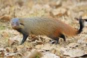 mongoose2