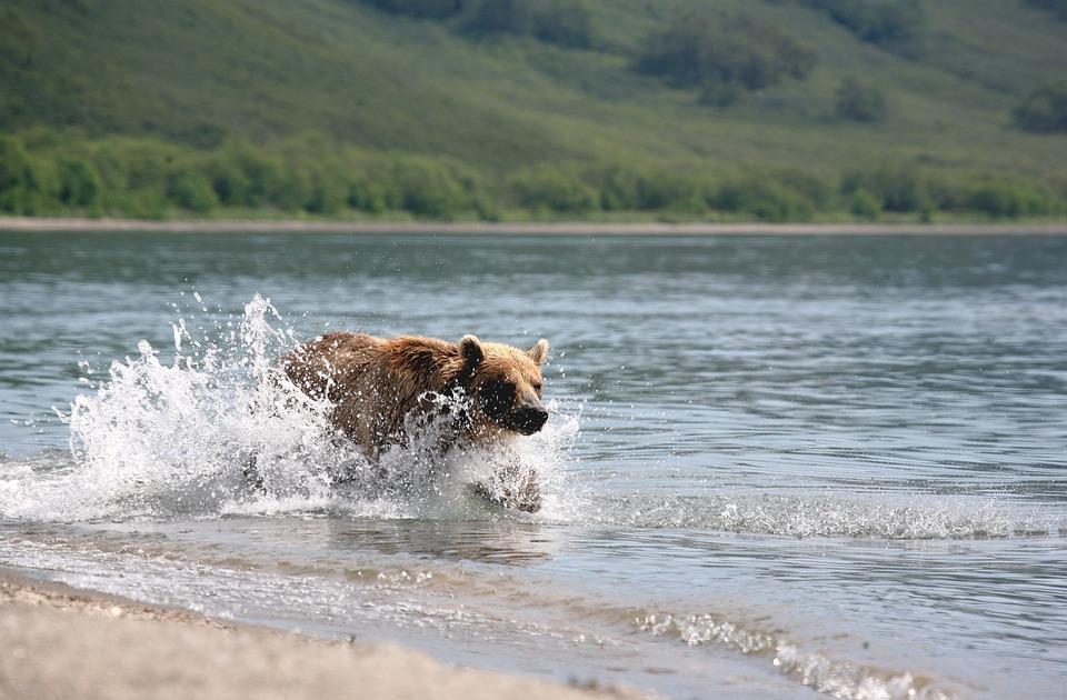 brown-bear-2514850_960_720