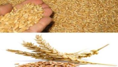 Photo of زراعة كربلاء:  تجهيز الفلاحين والمزارعين ببذور الحنطة للموسم الزراعي الشتوي الحالي