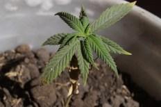 Jak naklíčit semena konopí – podrobný návod s několika tipy