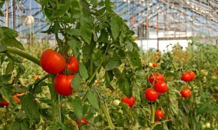 35 денари за килограм е почетната цена на доматите во струмичко