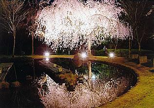 「真鶴しだれ桜の宴」の模様(真鶴町商工会 ホームページより)