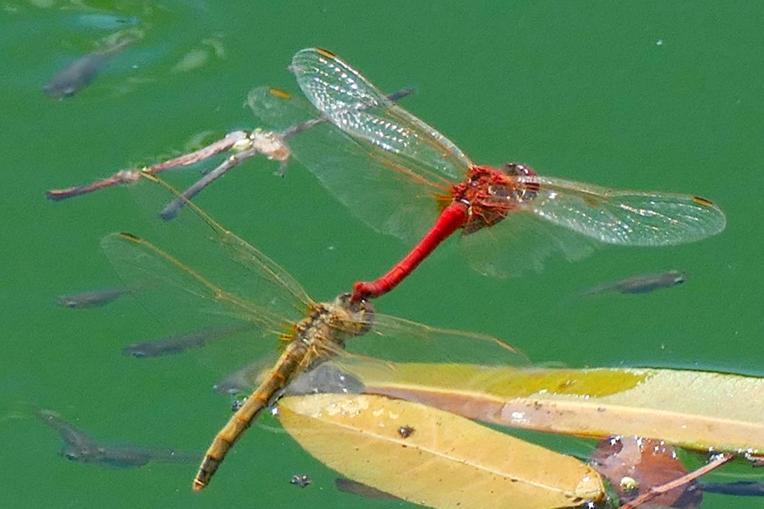 Libelle im Schlepptau