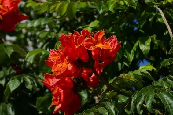 afrikanischischer Tulpenbaum