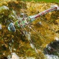 Senkrechtstarter Libelle