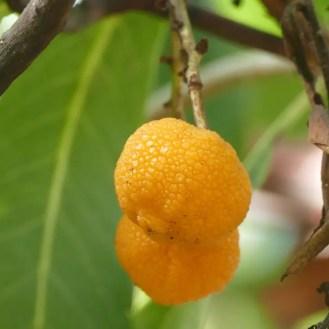 Oranger Fruchtbaum
