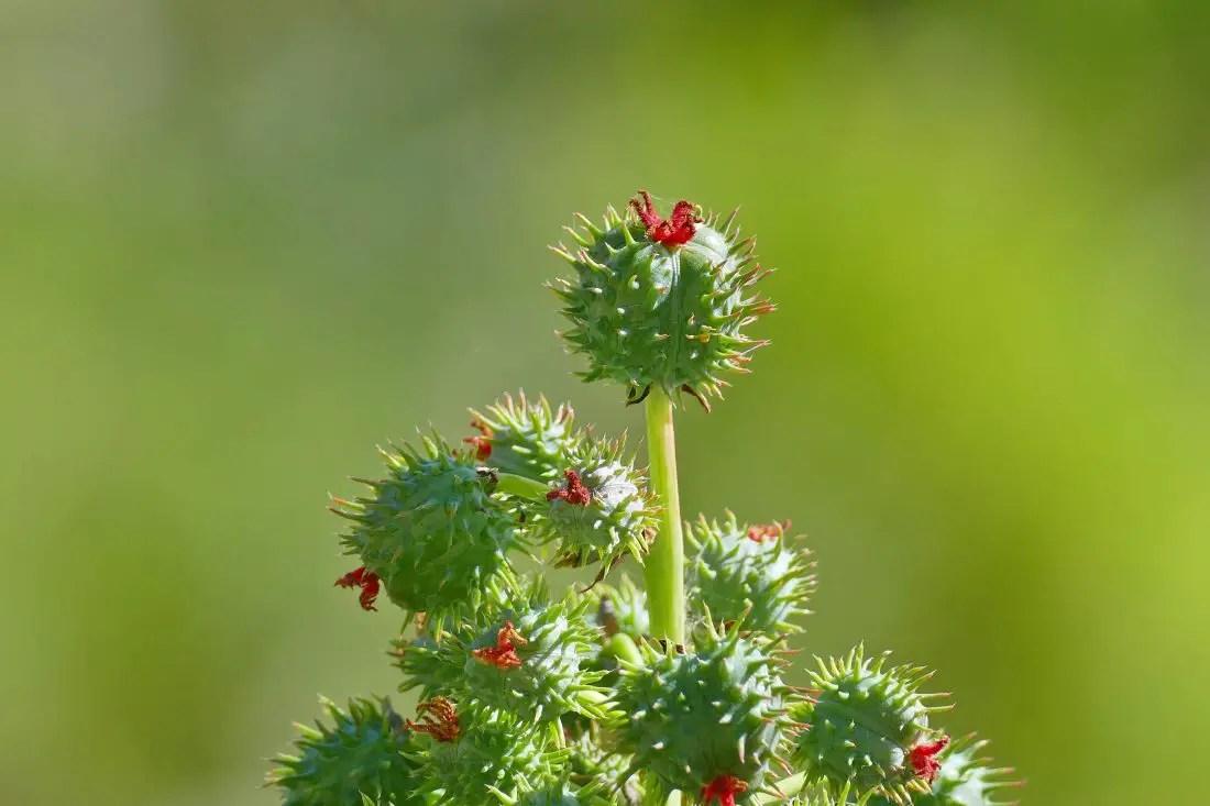 Wunderbaum - Rizinus