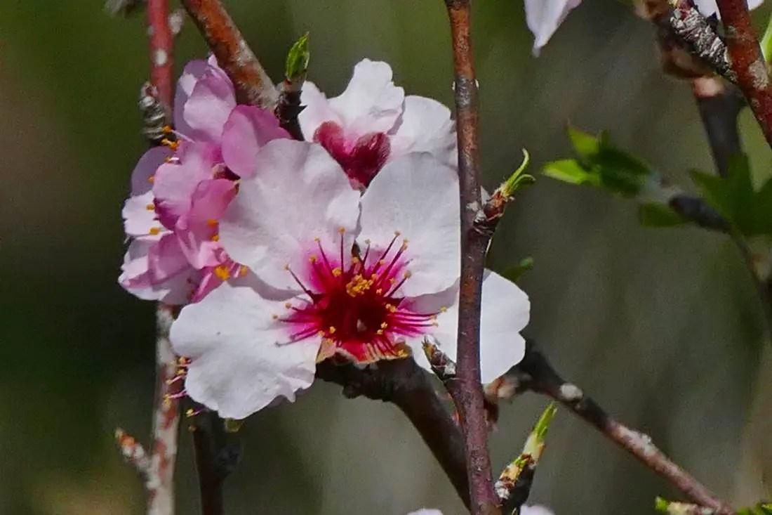 Natur - Mandelblüten