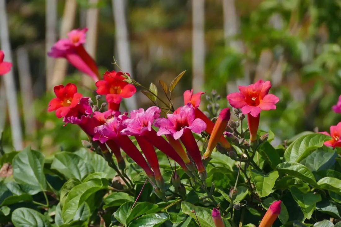 Campsis - Trompetenblumen