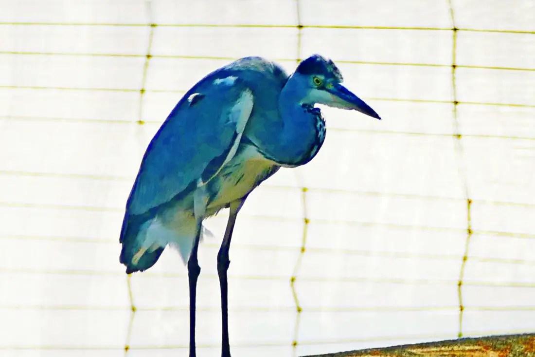 Blauer Fischreiher